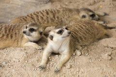 Three Meerkats resting Stock Photos