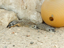 Three Meerkats resting Stock Image