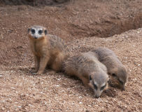 Three Meerkats on Sand Royalty Free Stock Images
