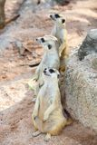 Three meerkats (Suricata suricatta) are watching t. He enemies Royalty Free Stock Images