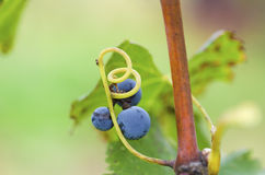 Three Merlot grapes on the vine and tendril.Selective focus stock images