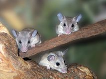 Three mice. Three curious mice are siting on the tree Royalty Free Stock Photo