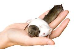 Three Mice. A hand holding three mice stock photos