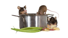 Three mice investigating the kitchen Stock Images