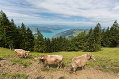 Three milk cows in meadow field in Switzerland with lake Zug, tr Stock Image