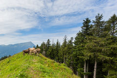 Three milk cows in meadow Switzerland with mount Rigi and trees Stock Photography