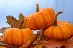 Three Mini Pumpkins royalty free stock photo
