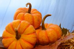 Three Mini Pumpkins royalty free stock photography