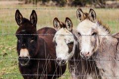 Three Miniature Donkeys along the fence line royalty free stock image