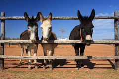 Three miniature donkeys Stock Photography
