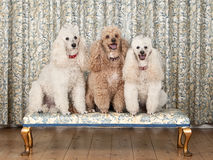 Three Miniature Poodles on Bench Stock Images