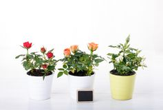 Three miniature rose plant royalty free stock photos