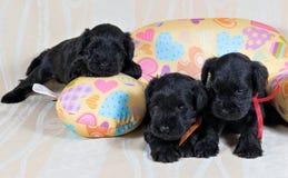 Three Miniature Schnauzer puppy on cushion stock image