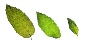 Three mint leaves. Three sizes of mint leaves lit up from behind in different sizes Royalty Free Stock Photos