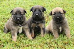 Three brown puppies. Three mixed breed puppies pose together in the grass for a photo royalty free stock photography