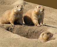 Three Moles royalty free stock image
