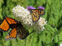 Toronto Lake three Monarch butterflies on a white flower 2017. Three Monarch butterflies on a white flower in garden on bank of the Lake Ontario in Toronto royalty free stock image