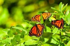Three monarchs Stock Photos