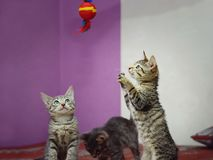 Three mongrel domestic kittens play with a toy. stock photography