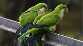 Three Monk Parakeets Perched on a Fence. Cadiz Spain stock images