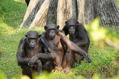 Three monkey. On a grass looking with camera Royalty Free Stock Image
