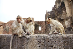 Three monkey and old building Stock Photos