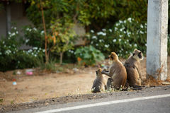 Three monkey on the side of the road Royalty Free Stock Photography