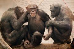 Three monkeys Stock Image