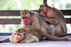 Three monkeys Stock Images