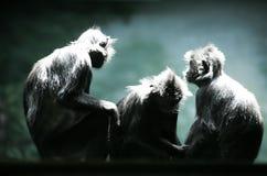 Three monkeys. Monkeys photographed at the Columbus zoo in Ohio Stock Photo