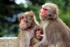 Three monkeys. Sitting together as a group Royalty Free Stock Image