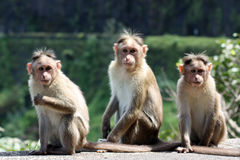 Three Monkeys. A group of three monkeys sitting on a wall on a forest border stock photo
