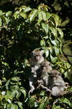 Three Monkeys b Stock Photos