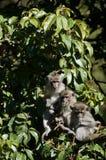 Three Monkeys b. Monkeys in a row in jungle surroundings Stock Photos