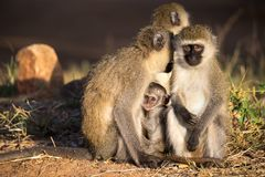 Three monkeys with a baby sit together royalty free stock photography