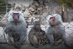 Three monkeys. Behind the fence royalty free stock photography
