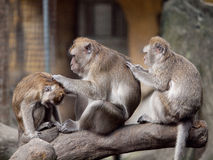 Three monkeys (crab eating macaque) grooming. royalty free stock photos