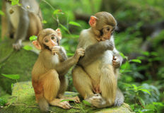 Three monkeys in forest Royalty Free Stock Image