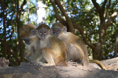 Three monkeys. Gambia sitting in a tree Royalty Free Stock Image