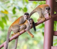 Three monkeys playing on a railing in Costa Rica. Three monkeys playing on the railing of the deck in Manuel Antonio, Costa Rica Royalty Free Stock Image