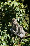 Three Monkeys. 3 monkeys in a row in jungle surroundings royalty free stock image