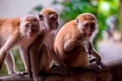 Three monkeys sit on a tree branch Stock Photo
