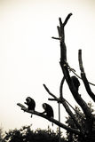 Three monkeys sitting high up in a tree. Eating seeds and fruit. Black and white Royalty Free Stock Photos