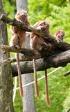 Three monkies in a row Stock Image