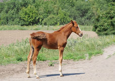 Three month foal standing portrait Stock Photo