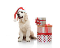 Three-month golden retriever puppy in a red Stock Images