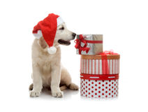 Three-month golden retriever puppy in a red Stock Photo