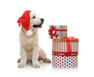 Three-month golden retriever puppy in a red Stock Image