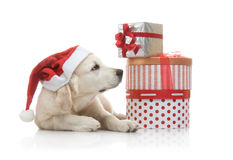 Three-month golden retriever puppy in a red Royalty Free Stock Photography