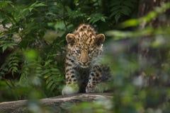 Amur leopard Panthera pardus orientalis. Three-month-old Amur leopard Panthera pardus orientalis stock image